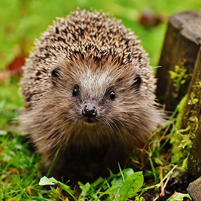 Catering for hedgehogs with British Hedgehogs