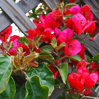 Climbing Plants for Your Trellis