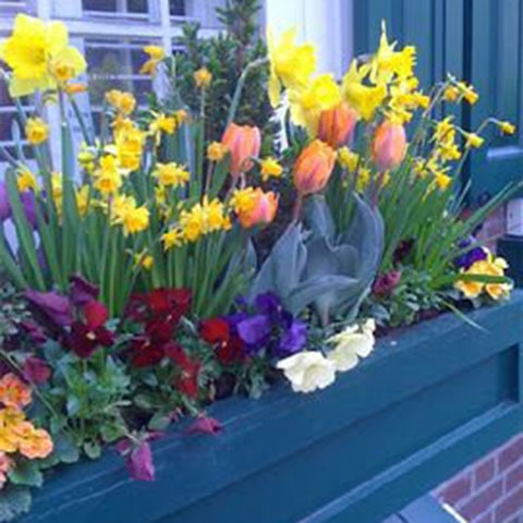 Tulips, daffodils, pansies, primroses and topiary in a hanging basket