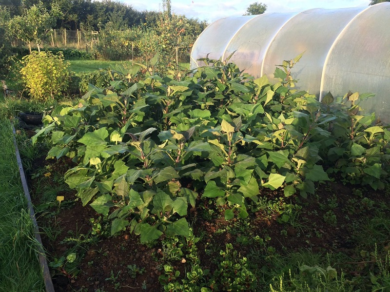 Yacon growing in the Incredible Vegetables' field