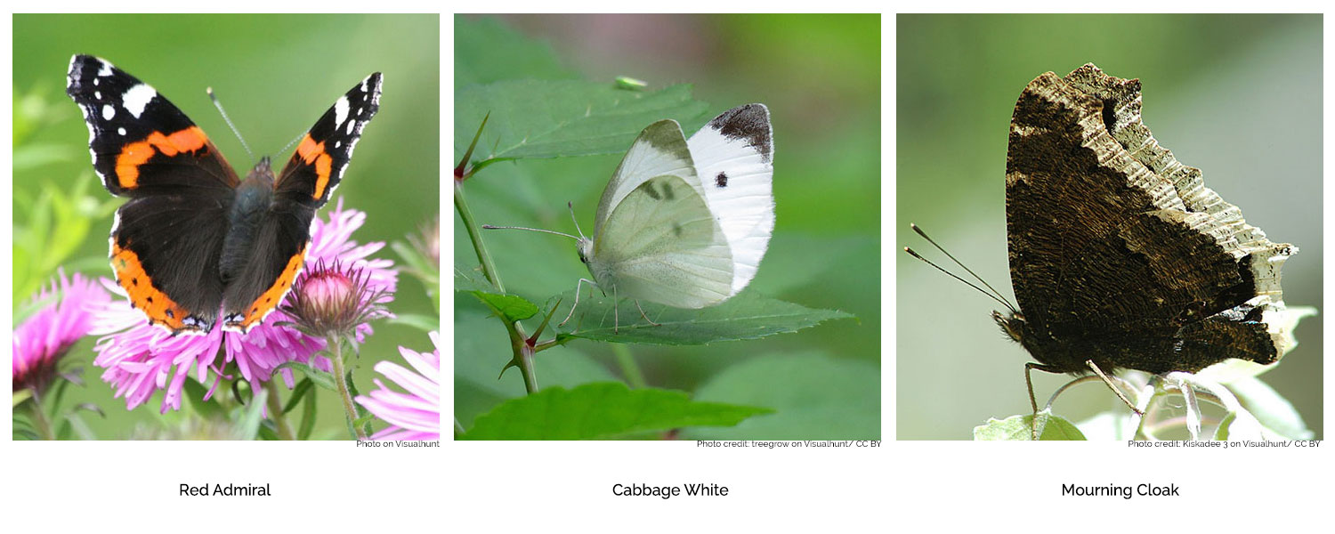 Three of the many types of butterfly found in our gardens